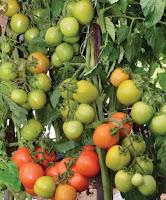 daun pohon tomat. tanaman tomat, pupuk daun, pemupukan tomat, gardena d, jual pupuk, toko pertanian, toko online, lmga agro