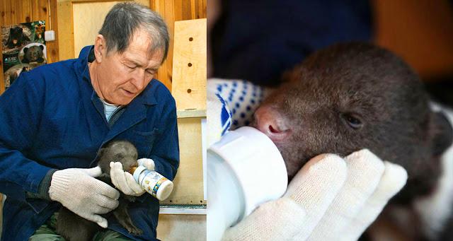 Он в течение 20 лет спасал медвежат, вернув в природу более 200 медведей