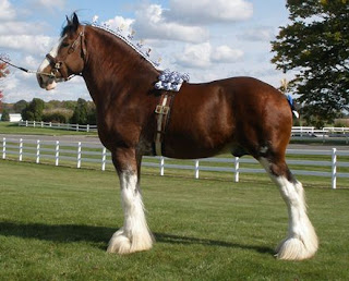 Clydesdale, Clydesdale Stallion, Clydesdale Breeders, Clydesdale Georgia, CBUSA