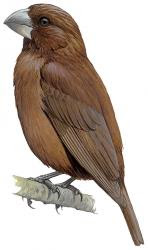 Crithagra concolor