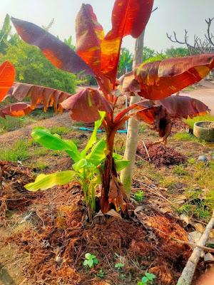 सपने में केले का पेड़ देखने का मतलब क्या होता है