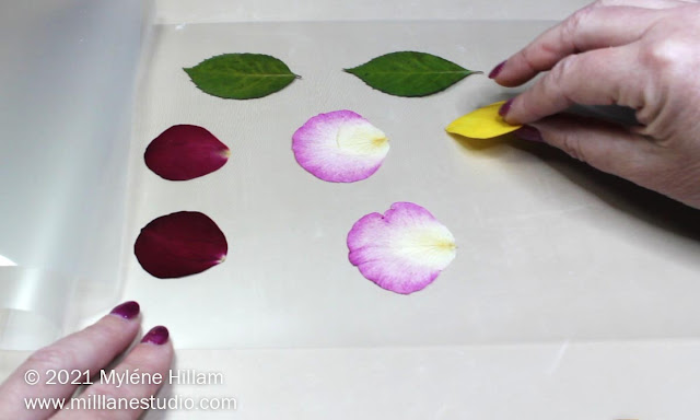 Hand placing a pressed yellow rose petal on a laminating sheet alongside red and pink rose petals and rose leaves