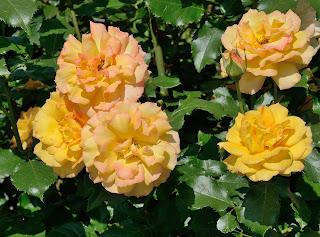 Sahara роза сорт фото купить саженцы Минск