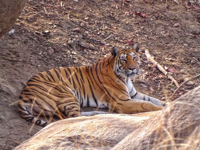 Langdi the Tigress - Pench National Park
