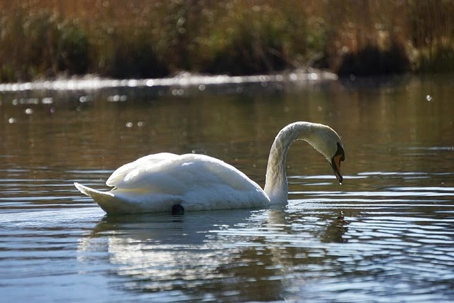 75 Unknown Facts About Swan