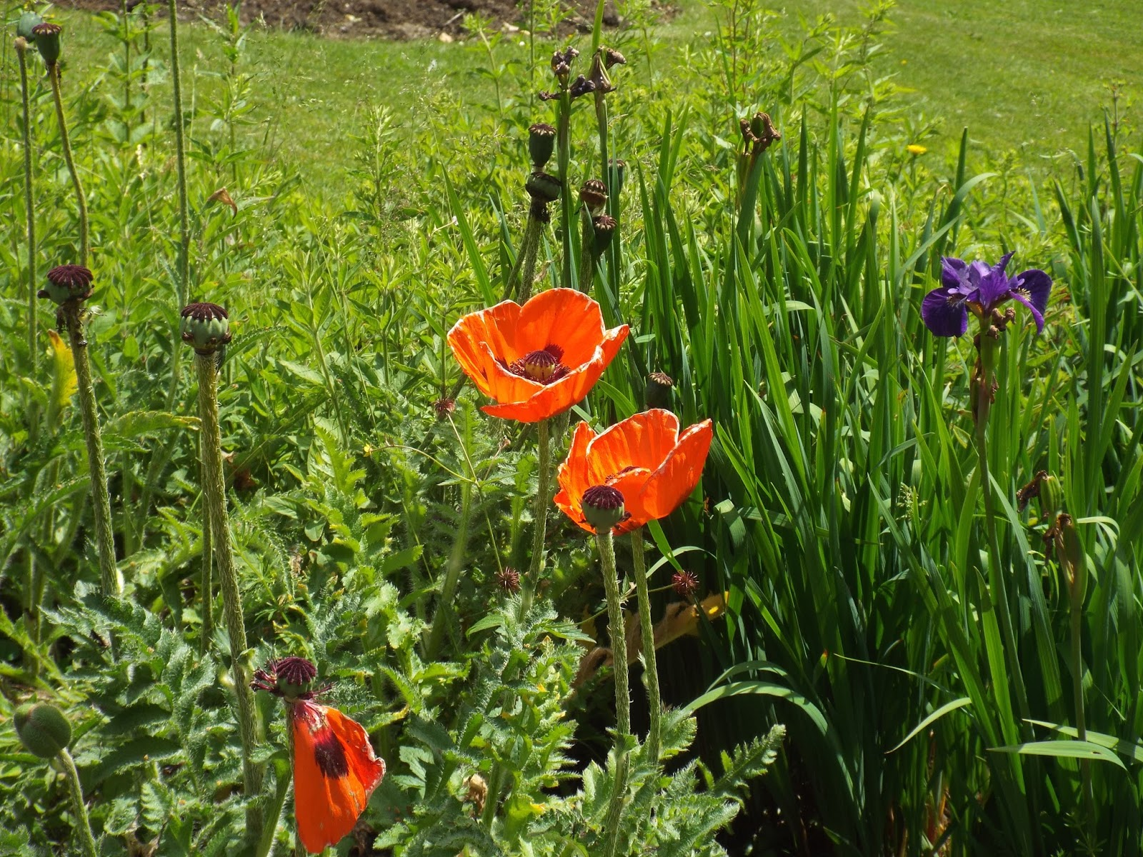 sylvia plath poppies in july essay College of arts and humanities engl243 what is poetry bernal poppies in july, poppies in october comparison essay well-renowned poet sylvia plath is known for her constant life struggles.