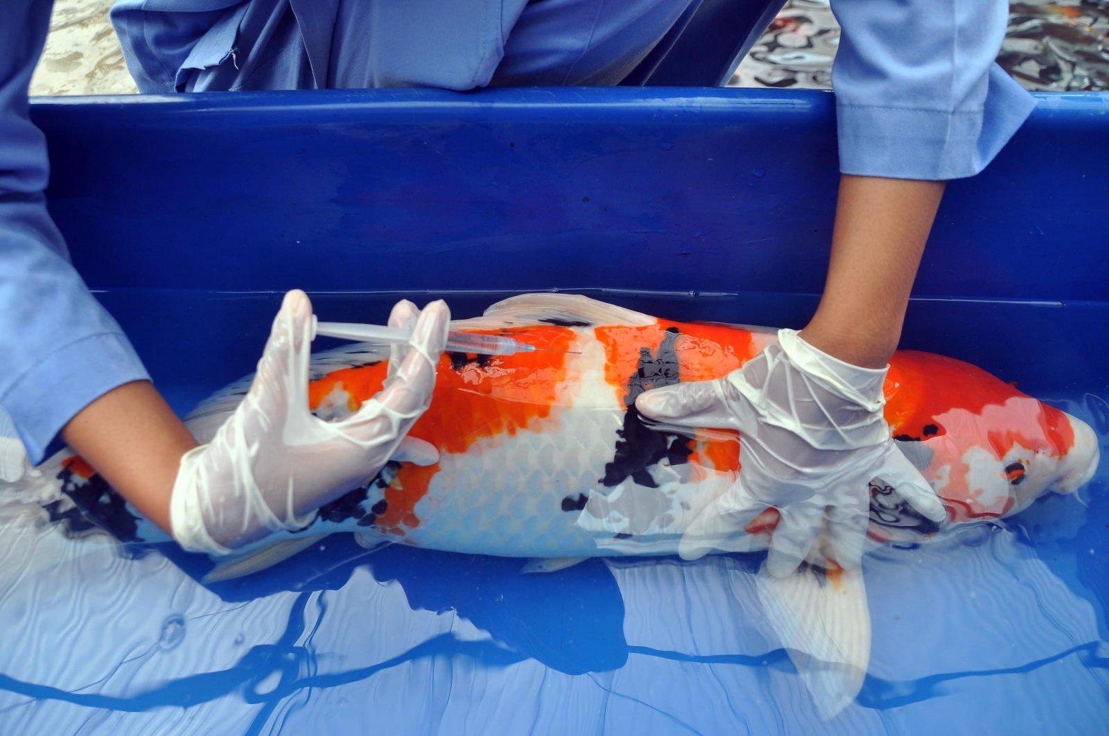 cara mengobati Infeksi Jamur Saprolegnia (Saprolegniasis) ikan koi