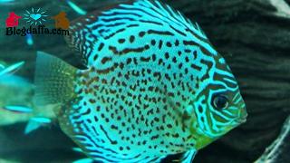 Jenis Ikan Discus Green