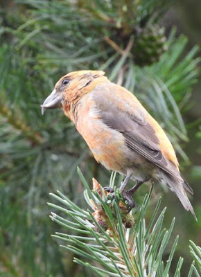 Crossbill - Wendy Goulty
