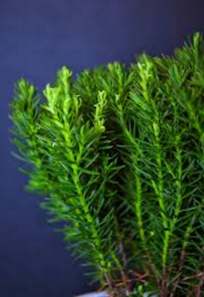 Wild rosemary is one of the 15 most popular herbs used in South African herbal medicine.