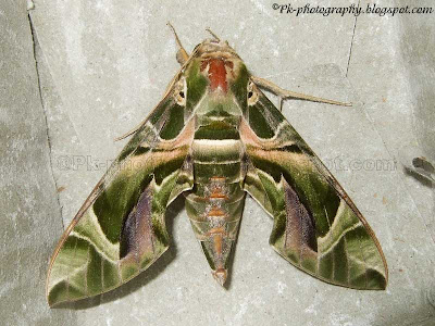 Oleander Hawk Moth Picture