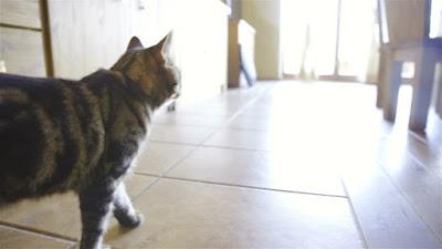 Por qué los gatos abandonan a sus dueños