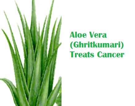 Aloe Vera (Ghritkumari) Treats Cancer