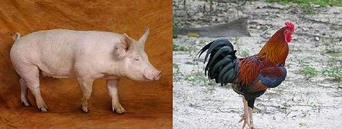 Membandingkan Perilaku Ayam dan Babi