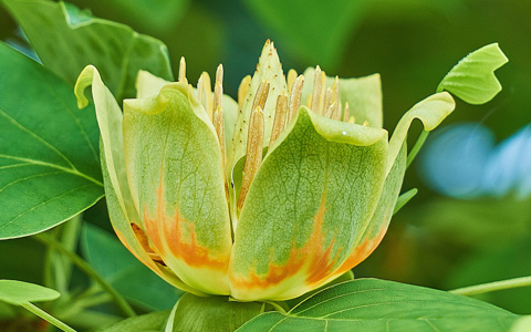 Tulip tree liriodendron tulipifera blooming flower