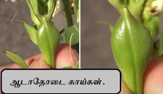 adhatoda fruit