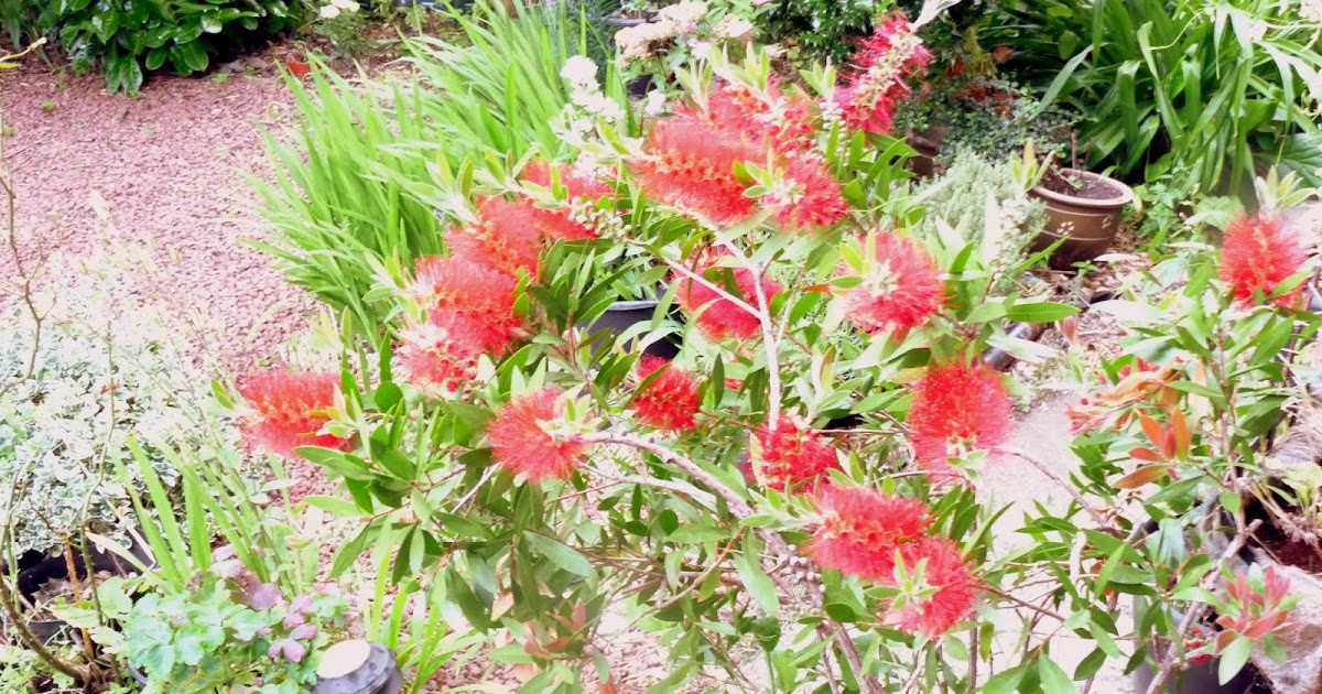 Reviewing The Growing And Care Of Bottlebrush Plant