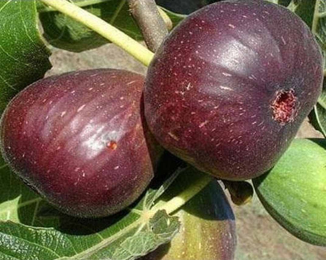 Bibit Buah Tin Tanaman Buah Tin Purple Jordan Buah Ungu Pohon buah Jambi