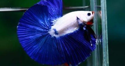 Ciri Ciri Ikan Cupang Blue Rim Dan Harganya Cupang Sehat
