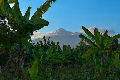 energi terbarukan dari tanaman pisang, tanaman pisang, pisang