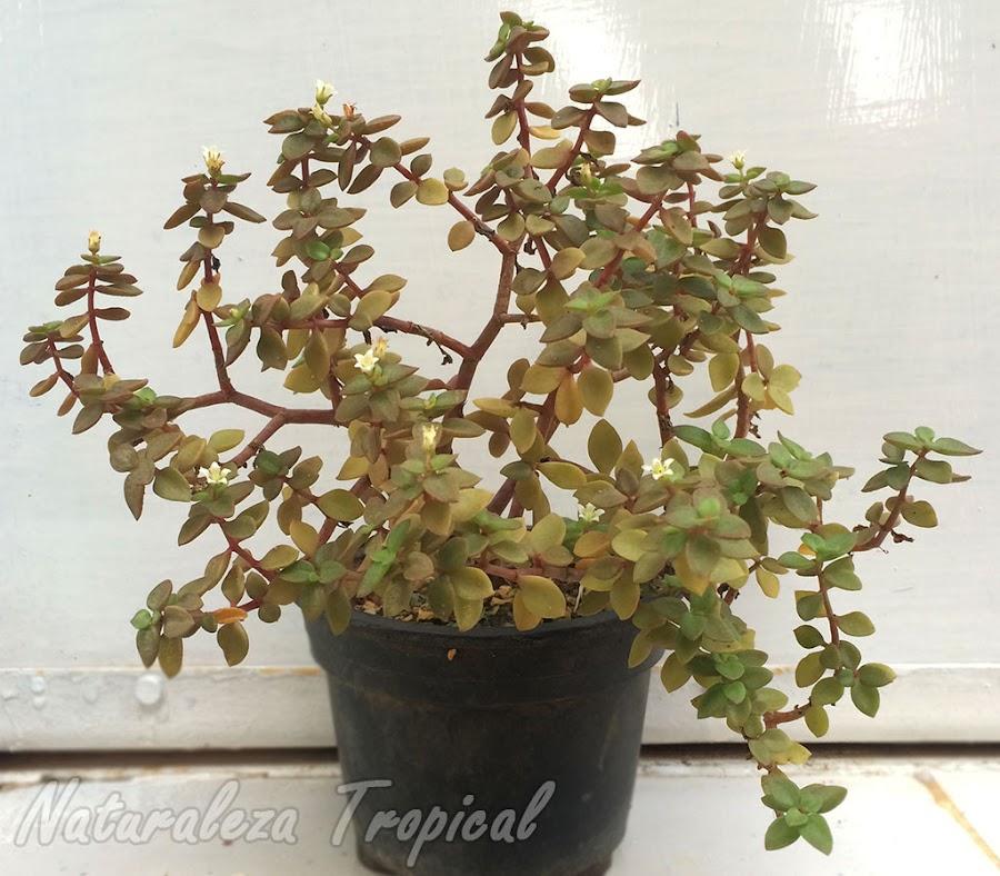Vista de la planta suculenta Crassula volkensii en maceta