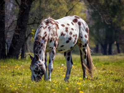 Appaloosa  - the Loyal Companion for Centuries