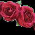 Rose flower 5095