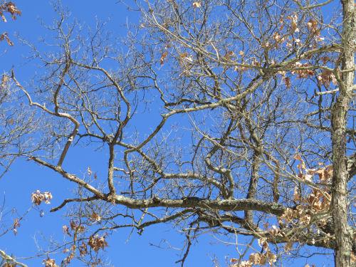 blue sky through oak branches