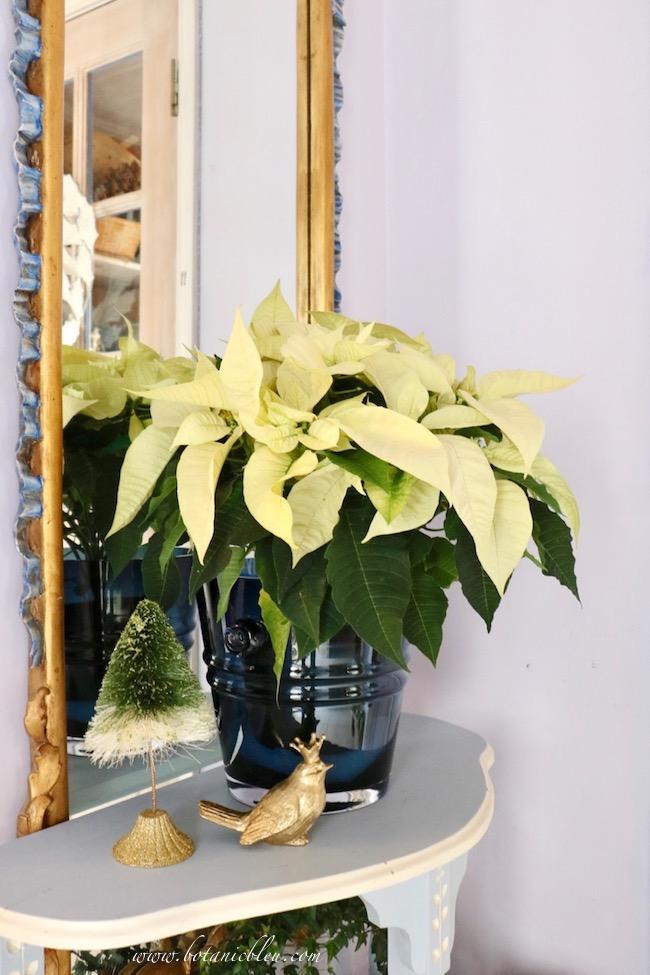 White poinsettia beautiful Christmas entry decor on blue demilune table