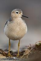 Buff-breasted sandpiper  Cantabric Coast, Spain  by Mario Suarez Porras
