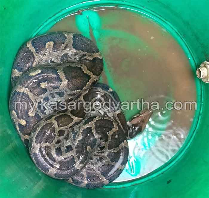 News, Kerala, Snake, catched,  the guest who came to the backyard was caught