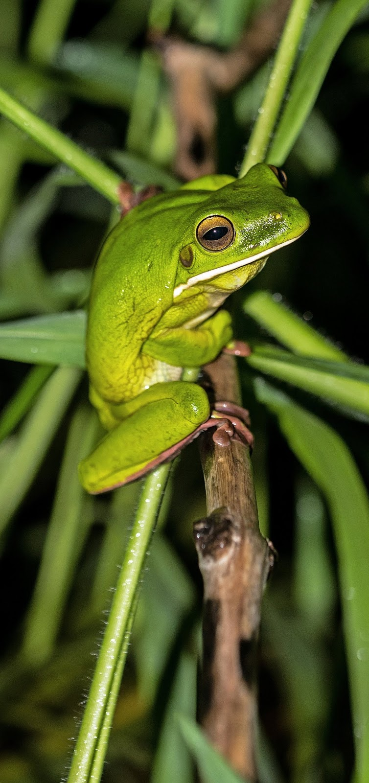 A white-lipped tree frog.