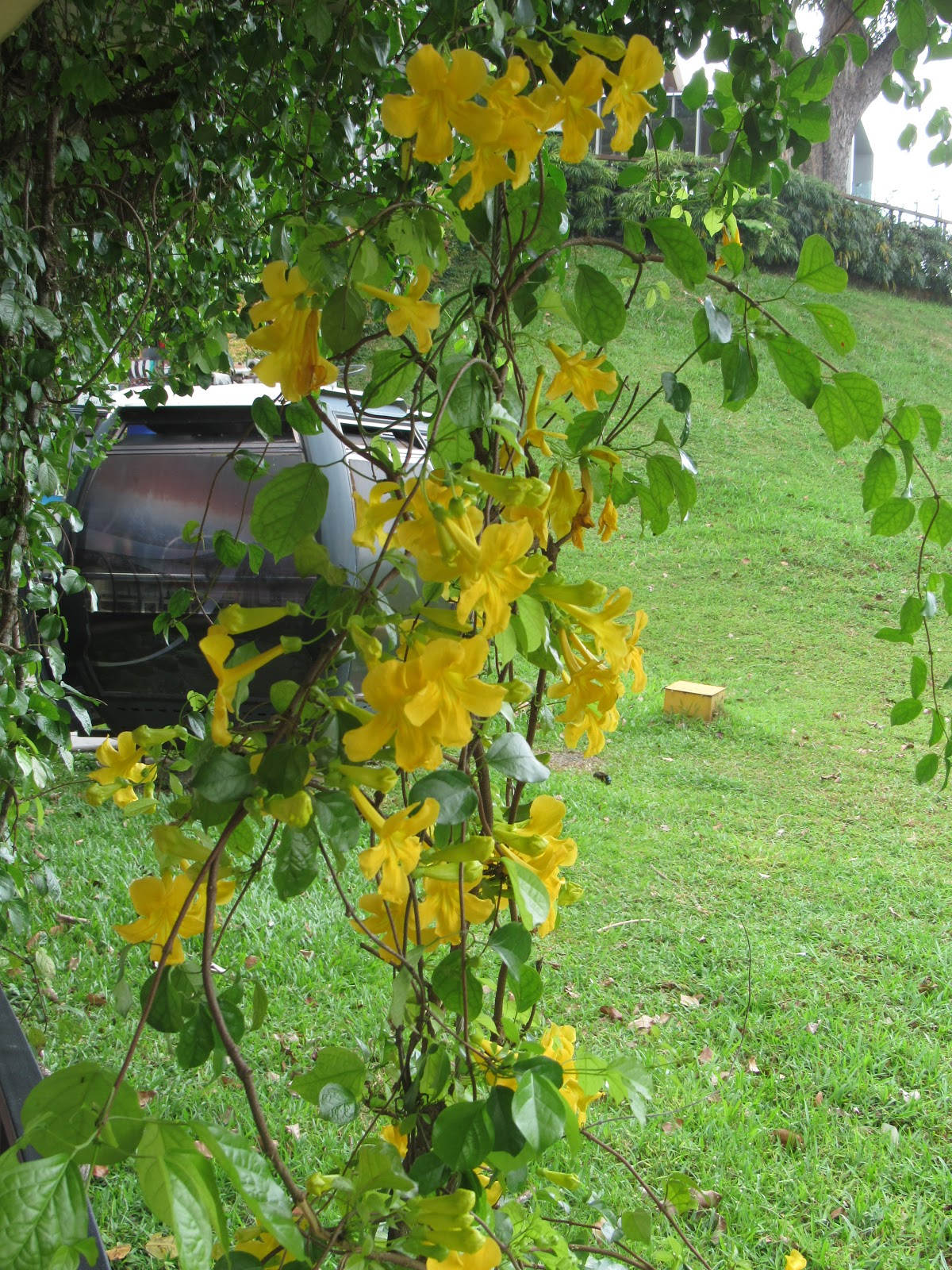 Picture of Live Yellow Trumpet Vine aka Macfadyena unguis-cati Plant Fit 5 Gallon Pot