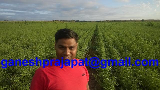 Guar, Guar gum, Guar gum cultivation, Guar Gum farming, Guar seed production, gaur gum processing, guar gum exporter, guar gum india