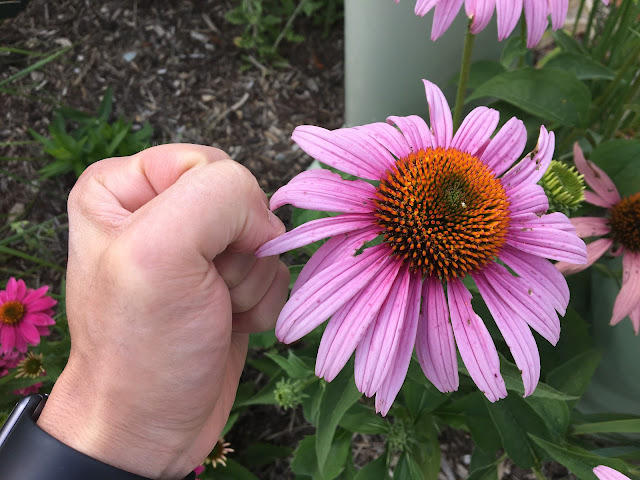 huge purple cone flower