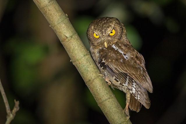 Andaman Scops-Owl - Image by Yash Kothiala