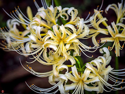 Higanbana (Lycoris radiata) flowers: Engaku-ji