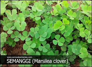 Semanggi (Marsilea minuta L) Gulma tanaman padi