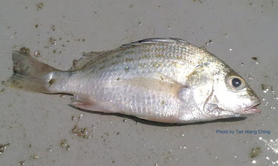 Ikan gerut asam pedas