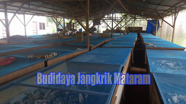 Peluang Bisnis Beternak Jangkrik  di Mataram Order WA 0858-5314-7511 Peluang Bisnis Beternak Jangkrik di Mataram Meraup Untung dari Usaha Rumahan