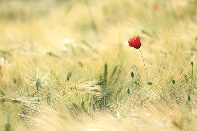أجمل خلفيات الزهور الحمراء