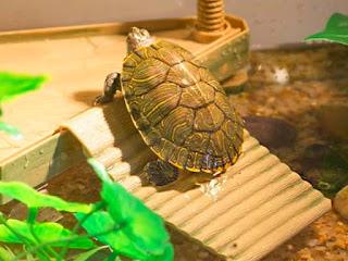 menghias-aquarium-kura-kura.jpg