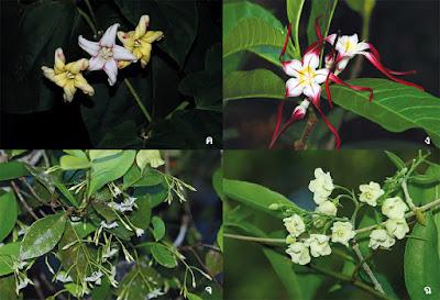 รายชื่อพรรณไม้ วงศ์ Apocynaceae ที่พบในป่าตะวันออก