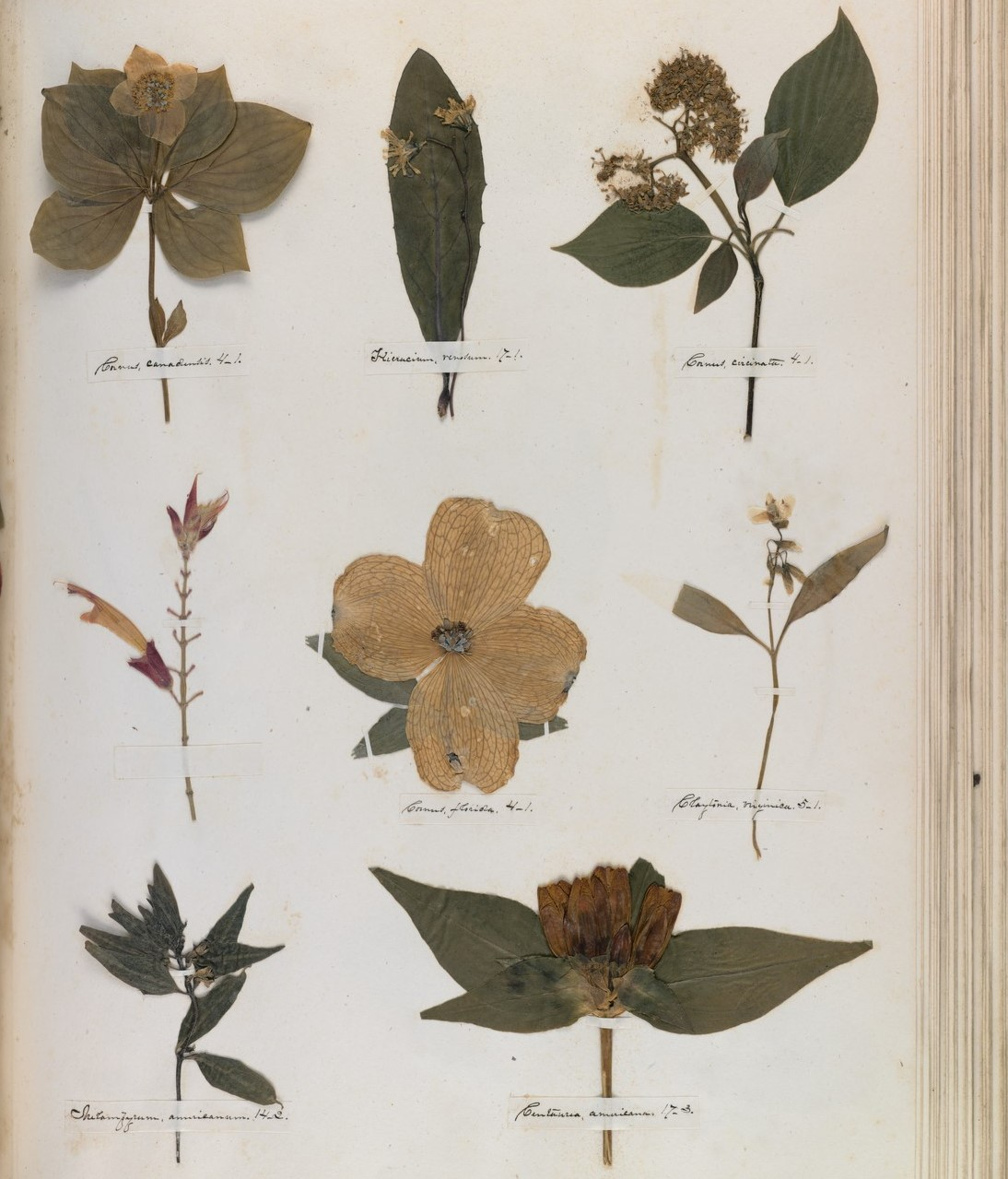 Flores prensadas herbario de Emily Dickinson