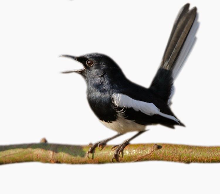 Cara Membedakan Burung Kacer Jantan Dengan Burung Kacer Betina
