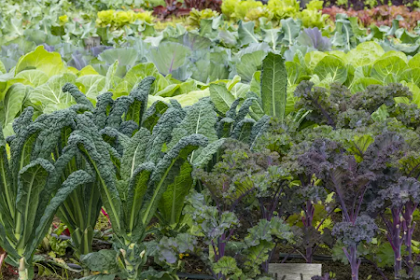 Kale Plant profil