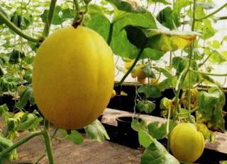Produksi Melon