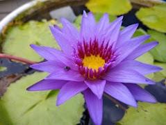 bluewater lily (ब्लूवाटर लिली)