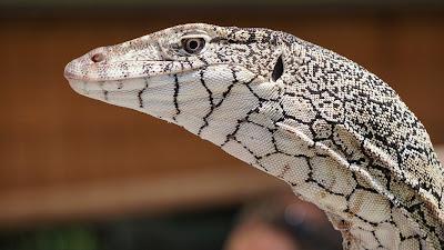 white lizard hd wallpaper