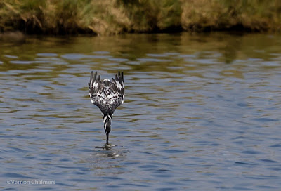 Diving Pied Kingfisher : Extreme Cropping Canon EOS 6D Full Frame